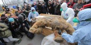 Exhiben cadáver conservado de mamut en Rusia