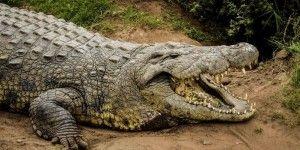Celebran cumpleaños 114 del cocodrilo más viejo del mundo