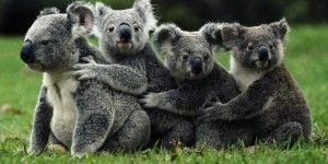 Koalas están extinguiéndose en Australia