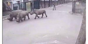 Tres rinocerontes blancos escapan de un parque en Israel