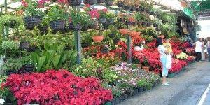 Guadalajara consume 800 mdp en flores al año