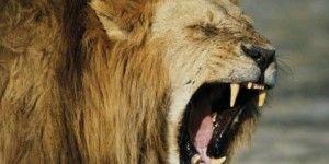 Mujer muere por ataque de león en safari