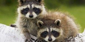 Madre mapache enseña a trepar a su hijo