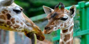 Buscan nombre para una jirafa bebé en el Estado de México