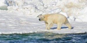 Cambio climático mató a oso polar en Noruega