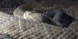 Exhibirán la serpiente más grande del mundo en Querétaro