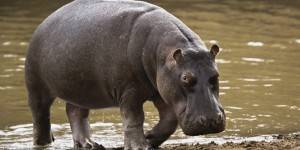 Matan a hipopótamo que escapó de rancho de un alcalde