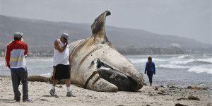 Encuentran ballena muerta en playa de California