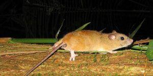 Se extingue el primer mamífero por cambio climático