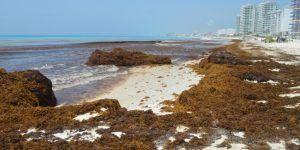 Más de mil metros cúbicos de sargazo invadieron Cancún