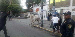 Escapan toros en Iztapalapa
