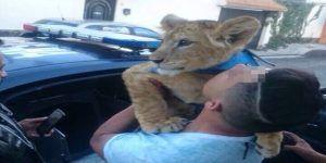 Captan a león paseando por calles de Iztapalapa