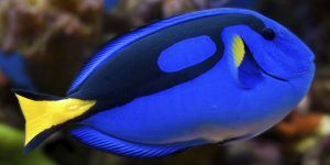 """Científicos logran criar en cautiverio al pez """"Dory"""""""