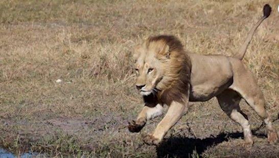 leona con melena