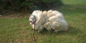 Perro pierde 16 kilos de pelo tras primer corte en 6 años