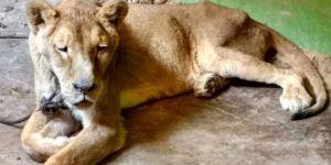 Rescatan a leona africana desnutrida en casa de Ecatepec