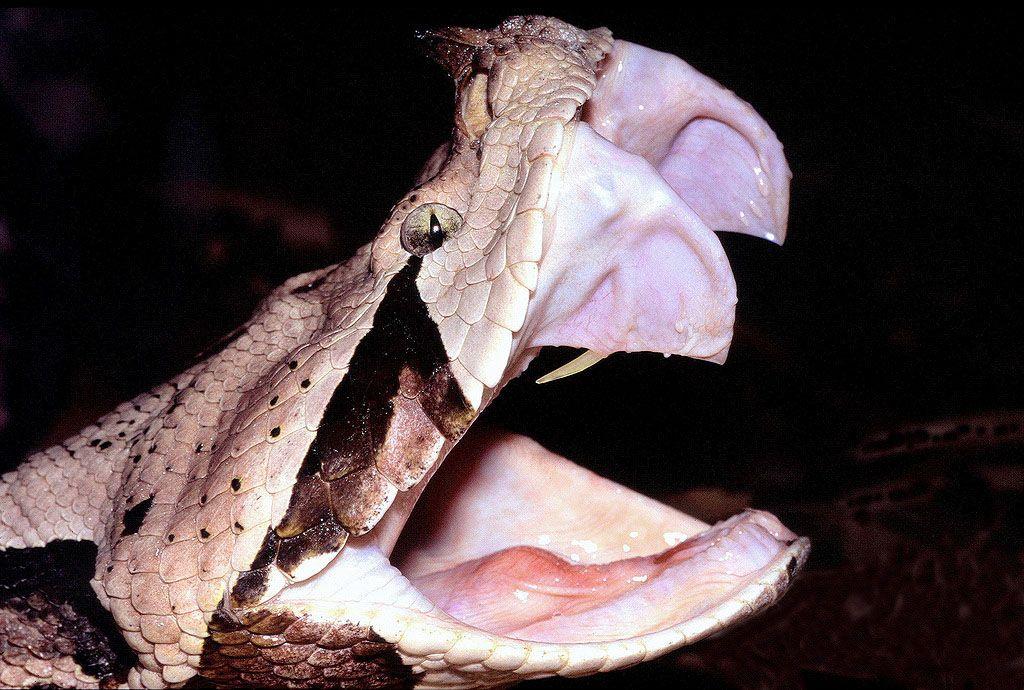 La mordedura de la serpiente puede ser fatal debido a la cantidad de veneno que inyectan. Foto de Internet