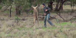 #VIRAL: hombre salva a su perro golpeando a un canguro en la cara