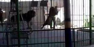 Video: león mata a domador en circo de Egipto