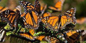 mariposas-monarcas-michoacan-a1