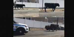 Vaca escapa de rastro y corre por Nueva York