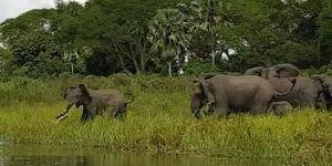 #Video Cocodrilo ataca a elefante