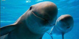 DiCaprio agradece apoyo de EPN para salvar a la vaquita marina
