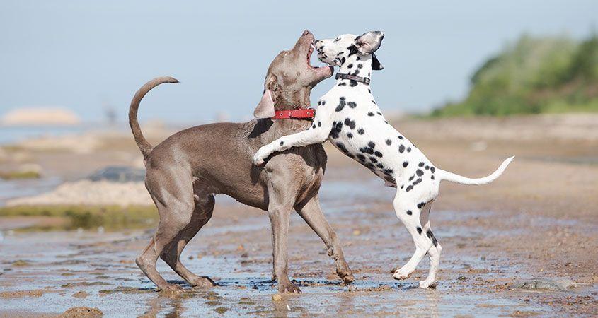 Organizar peleas de perros se castigará con cinco años de cárcel