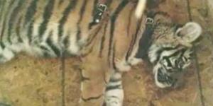 Policía Federal rescata tigre de bengala en Chiapas