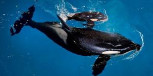 Muere ballena en Sea World
