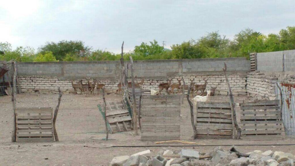 Investigan desaparición de 12 venados cola blanca en Nuevo León