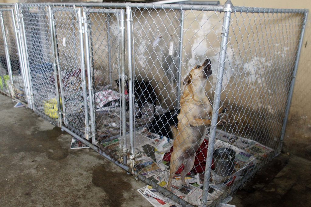 They have rescued over 200 dogs from a shelter in Puerto Rico - López Dóriga Digital 2