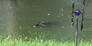 #Video Cocodrilos invaden patio trasero de mujer en Texas