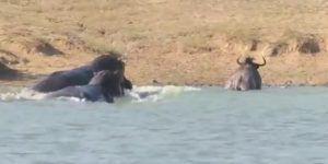 #Video Hipopótamos ayudan a ñu a escapar de cocodrilo